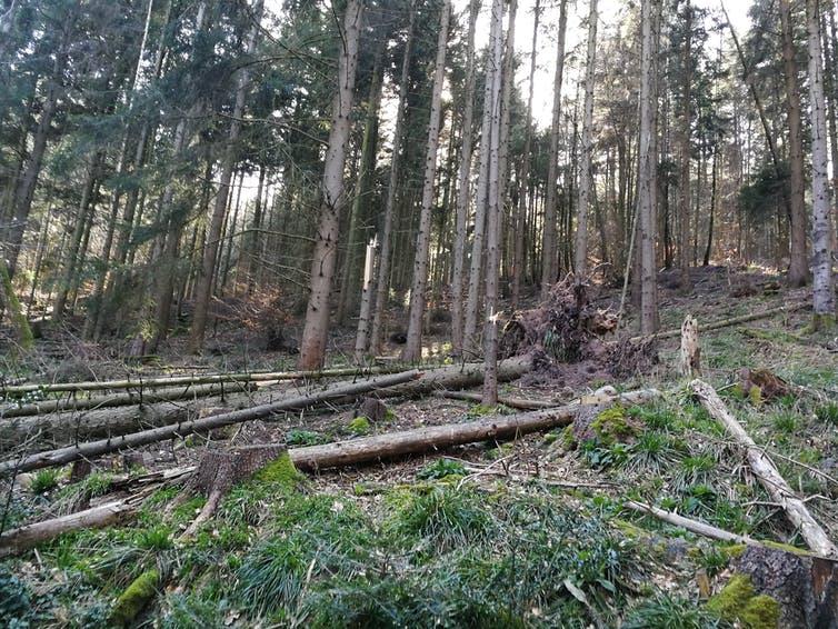 Photo d'une coupe dans une forêt, avec des troncs laissés au sol