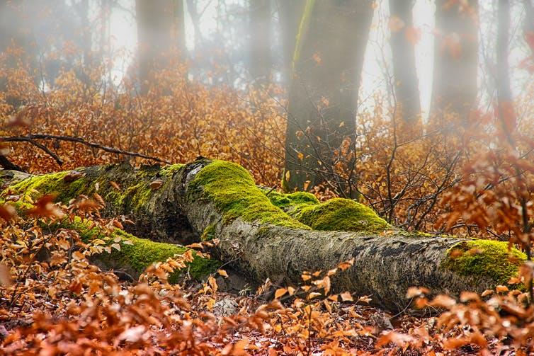 Photo de sous-bois avec un arbre tombé couvert de mousse et des feuilles mortes.